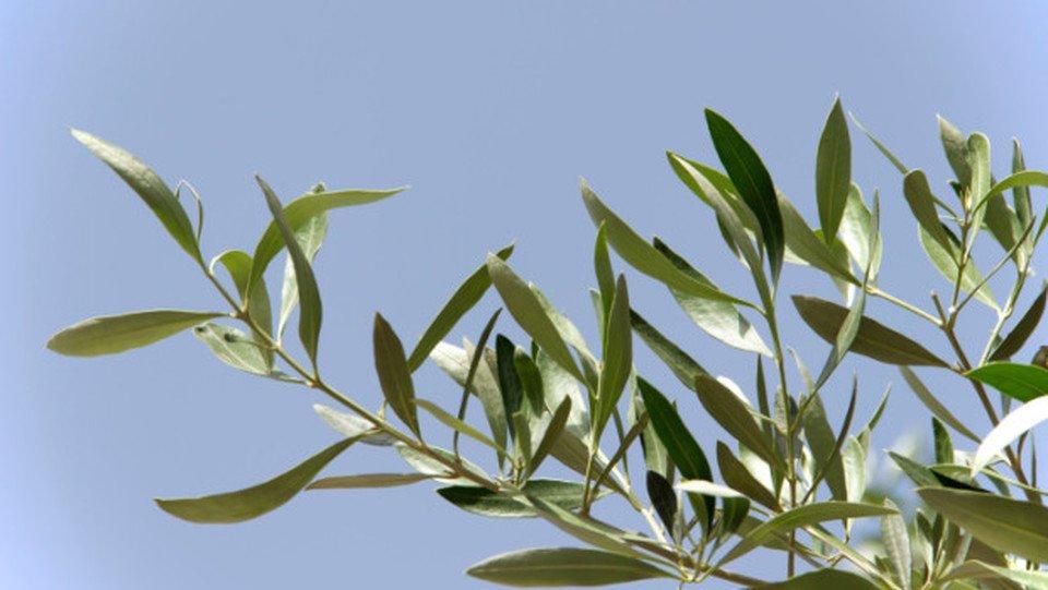 ramo olivo