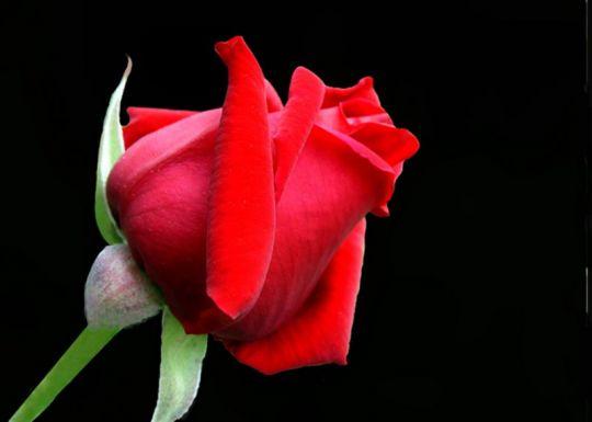 Sai il significato sul numero delle rose mamma e bambini - La rosa racconta la vita dei divi ...